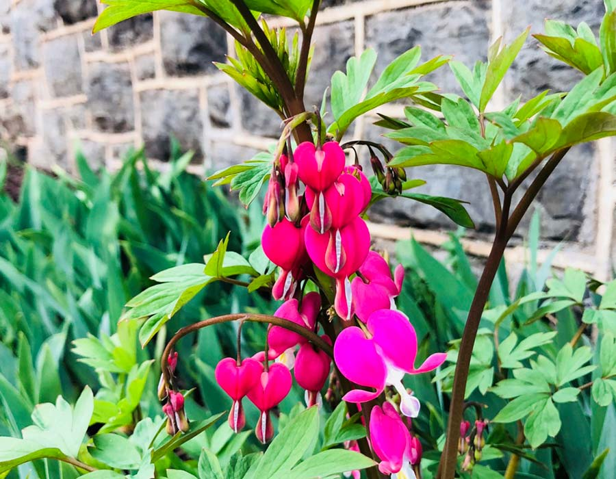 Asian bleeding heart flowers